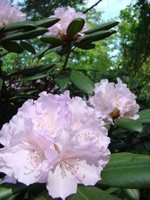 Rhododendron kwiaty