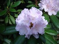 Różanecznik kwiat