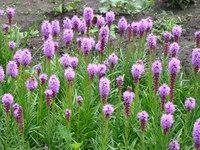 Fioletowe kwiaty ogrodowe