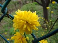 Złotlin japonski kwiaty