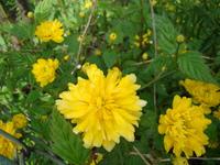 Złotlin kwiat