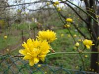 Złotlin pleniflora