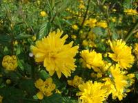 Żółty złotlin
