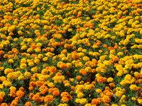 Aksamitka kwiat