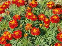 Aksamitka kwiaty
