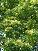 Aralia elata - Japanese Angelica-tree