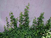 Bluszcze ogrodowe
