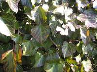 Bluszcze zimozielone