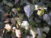 Brązowe liście bluszczu