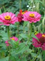 Cynia różowa, różowe cynie
