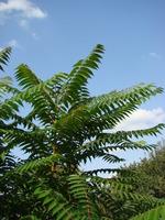 Drzewa araliowe Drzewo araliowe