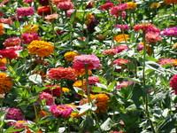 Kolorowe kwiaty ogrodowe