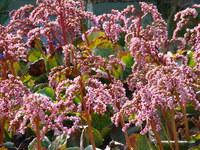 Kwiaty bergenii