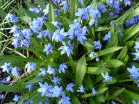 Niebieski kwiaty cebulkowe