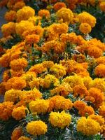 Pomarańczowe kwiaty aksamitki