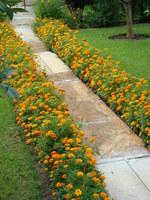 Uprawa aksamitki w ogrodzie