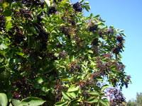 Uprawa czarnego bzu w ogrodzie