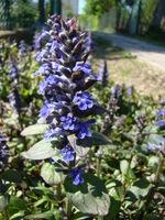 Dąbrówka kwiat ogrodowy
