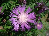 Chaber różowy