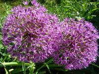 Czosnek ozdobny kwiat