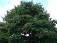 Dąb drzewo