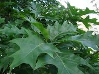 Dąb liście