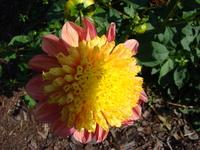Dalia anemonowa