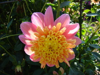 Kwiat anemonowy