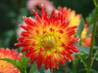 Kwiat o ognistych kolorach