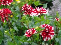 Kwiaty biało-czerwone