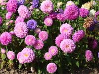 Kwiaty dalia