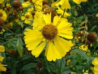 Dzielżan żółty