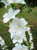 Dzwonek brzoskwiniolistny kwiat