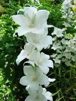 Dzwonek brzoskwiniolistny kwiaty