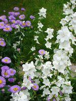 Dzwonek brzoskwiniolistny w ogrodzie