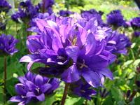 Dzwonek skupiony kwiat